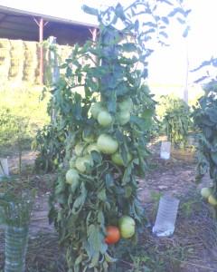 tomates merveilles des marchés