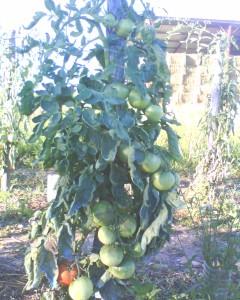 tomates saint pierre