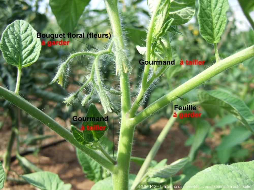 La tomate la passion de bubu jardinier ma vie - Tuteur tomate avec ficelle ...