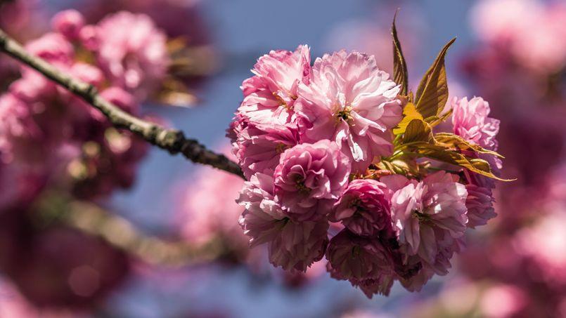 Cerisier du Japon, Jardin japonais