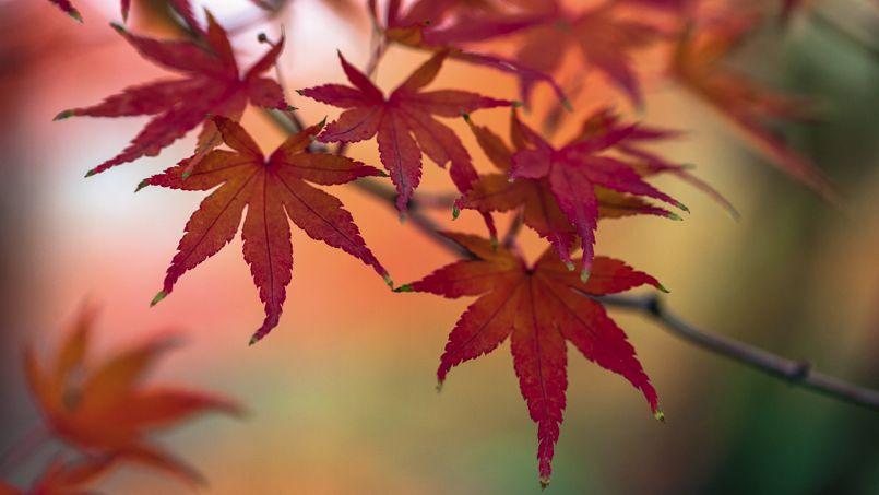 Erable rouge du Japon