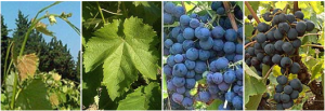 vigne alphonse