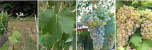 vigne colombard