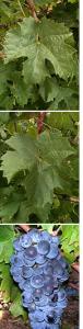 vigne coudrec
