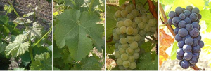 vigne sauvignon
