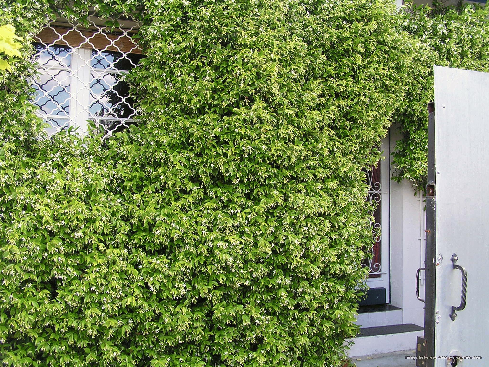 vigne vierge lierre bignone forum du jardinage amateur. Black Bedroom Furniture Sets. Home Design Ideas
