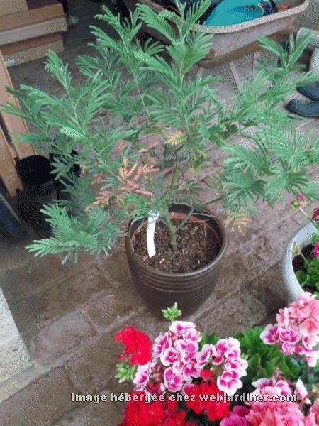 mimosa feuilles sech es forum de discussions sur le jardinage en amateur. Black Bedroom Furniture Sets. Home Design Ideas