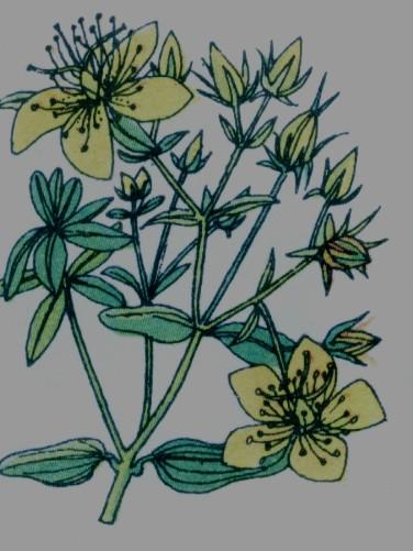 Millepertuis perforé - Hypericum perforatum