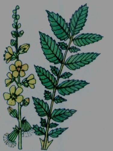 Aigremoine Eupatoire - Aigrimonia Eupatoria