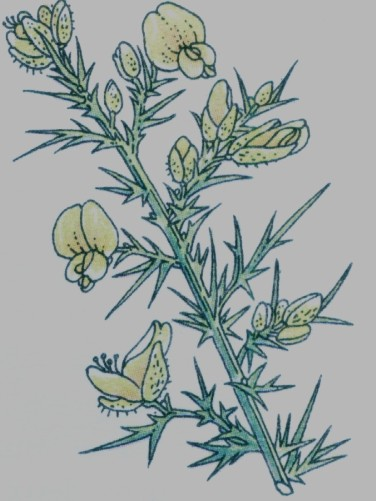 Ajonc - Ulex europaeus
