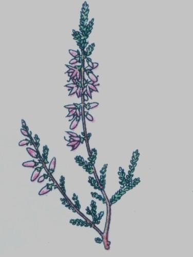 callune fausse bruyere - Calluna vulgaris