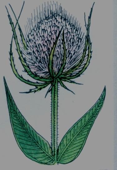Cardère commune - Dipsacus silvestris