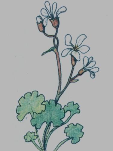 Casse pierre - Saxifraga granulata