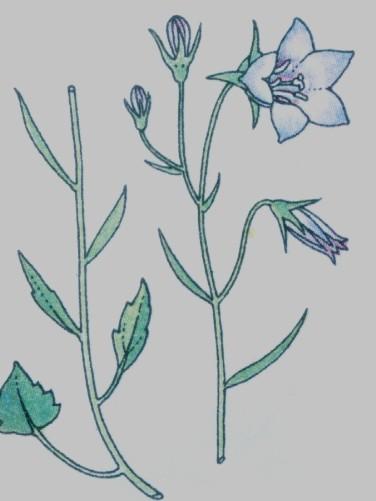 Clochette - Campanula  rotundifolia