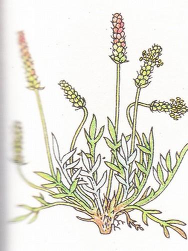 Corne de cerf - Plantago Coronopus