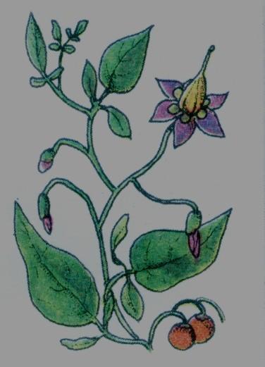 Douce-amère - Solanum dulcarama