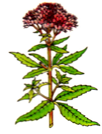 Chanvrine - Eupatorium cannabinum