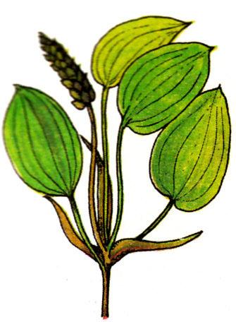 Epi d'eau - Potamogeton natans