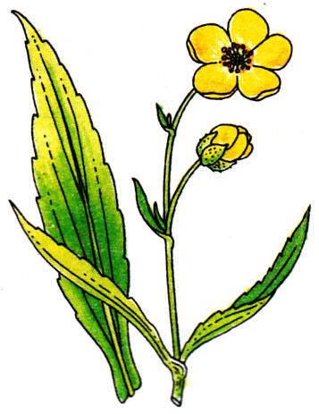 Grande douve - Ranunculus Lingua