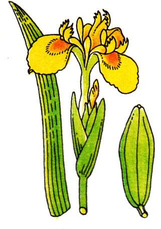 Iris pseudo-acorus - iris des marais