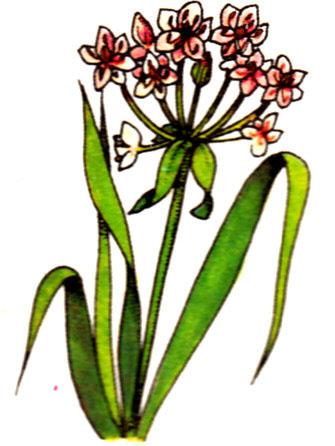 Jonc fleuri - Butomus umbellatus
