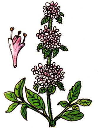 Menthe pouliot - Mentha pulegium
