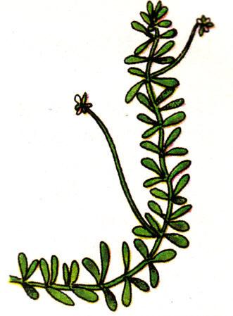 Elodea canadensis - Peste des eaux