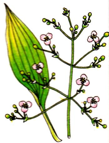 Plantain d'eau - Alisma plantago