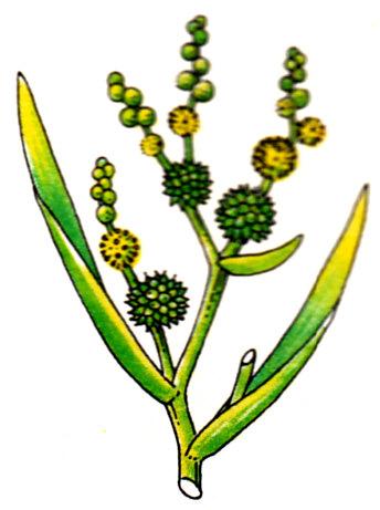 Ruban d'eau - Sparganum ramosum