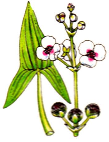 Sagittaire- Sagittaria sagittaefolia