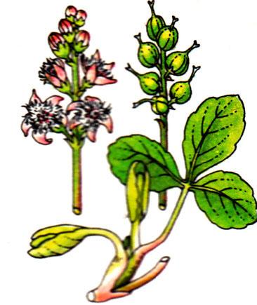 Trefle d'eau -Menyanthes trifoliata