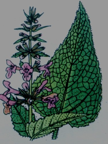 Epiaire des bois - Stachys silvatica
