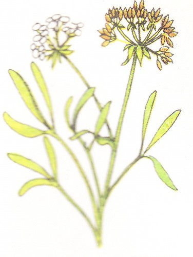 Fenouil marin (crithum maritimum)