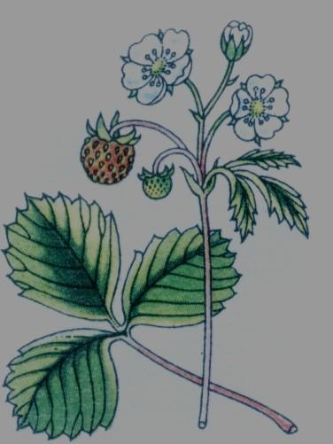 fraisier commun