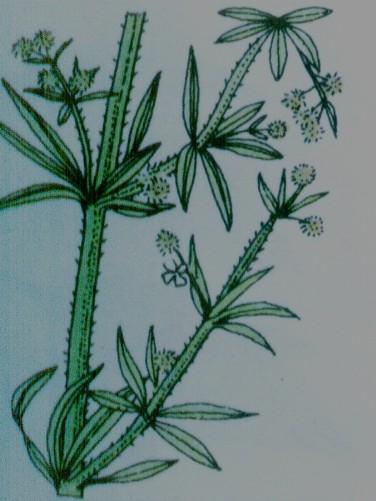 Gaillet grateron- Galium aparine