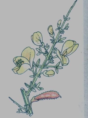 Genêt - Sarothamnus scoparius