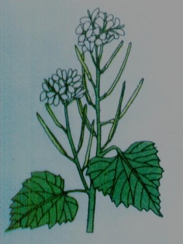 Herbe à l'ail - Alliaria officinalis