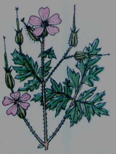 Herbe a Robert -Géranium Robertianum
