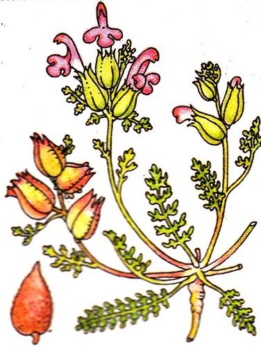 Herbe aux poux - Pedicularis silvatica