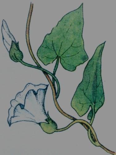 Liseron des haies - Convolvulus sepium