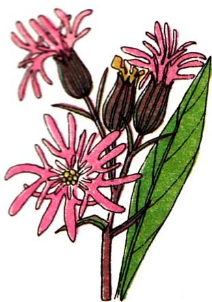 Fleur de coucou