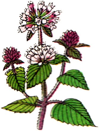 Menthe rouge