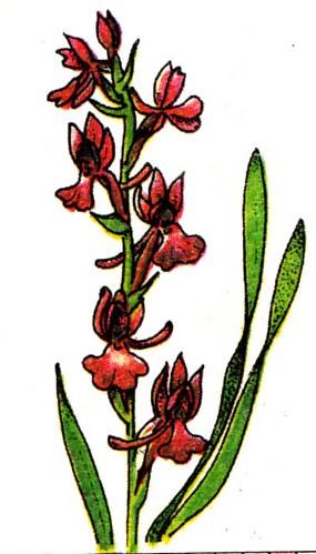 Orchis des marais