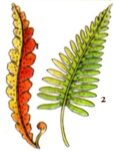 Ceterach officinal - Polypode commun