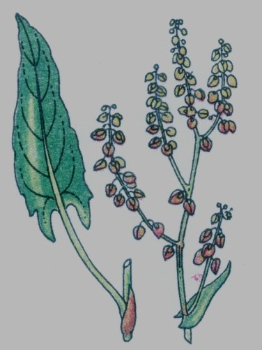 Oseille des près - Rumex acetosa