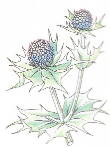 Panicaut de mer - Eryngium maritimum