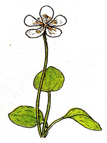 Parnassie  Parnassia palustris