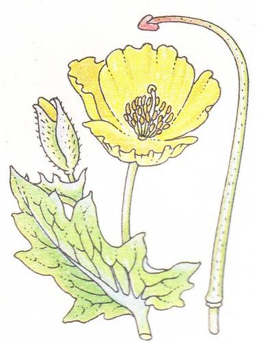 Pavot cornu - Glaucium luteum