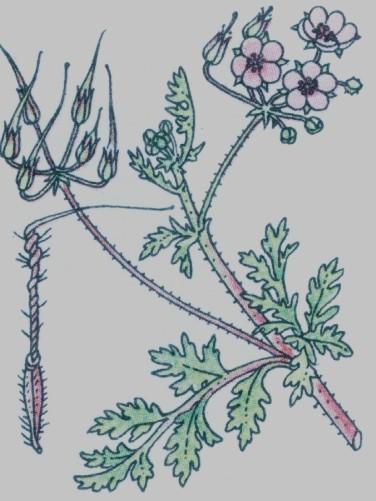 Petit bec de cigogne - Erodium cicutarium