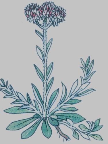 Pied de chat - Gnaphalium dioicum